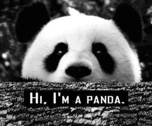 panda, animal, and hi image