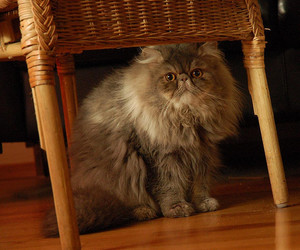 Armani, fluffy, and kitty image