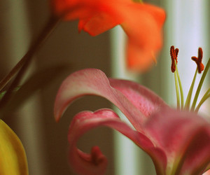 delicate, lily, and orange image