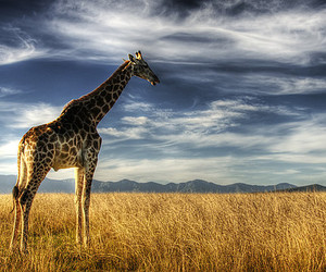 giraffe, animal, and nature image