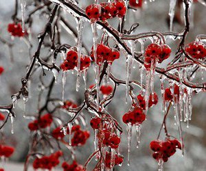 berries, winter, and ice image