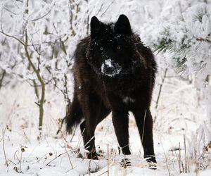 wolf, black, and snow image