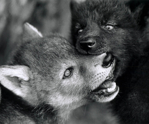 pup and wolf image