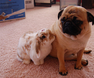 dog, pug, and bunny image