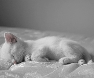 cat, cute, and white image