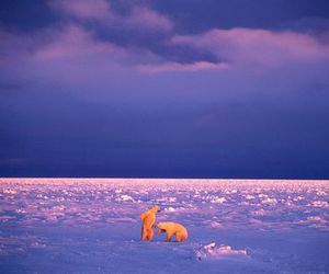 bear, Polar Bear, and ice image