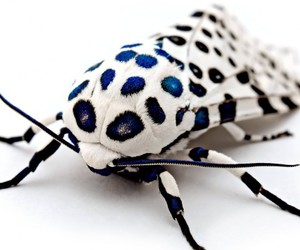 insects and giant leopard moth image