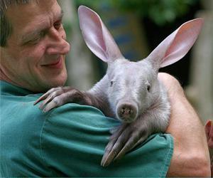 aardvark image