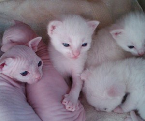 cat, pale, and kitten image