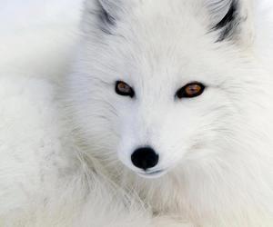 animals, fox, and white image
