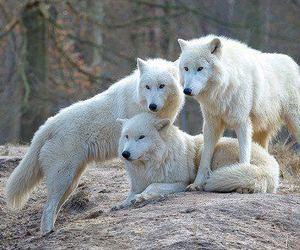 wolf, amazing, and animal image