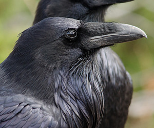 crow, raven, and black image