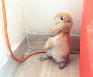 bunny, holland lop, and pet image
