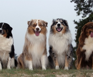 australian shepherd, cute animals, and dog image