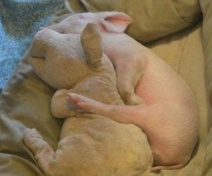 lovely, pig, and sleeping image