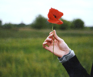 flowers, poppy, and hand image