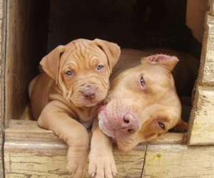 pit bull and pup image