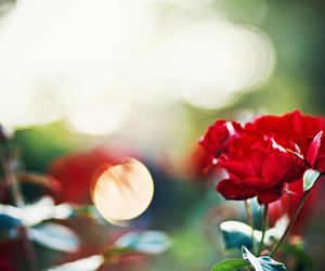red rose and rose image