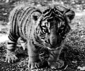 cutie, tiger, and dfh image