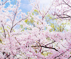adorable, amazing, and cherry blossom image