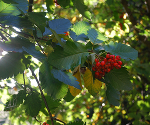 berries, manchester, and tree image