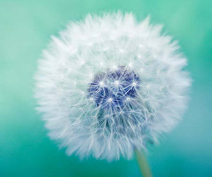 flowers, dandelion, and Dream image