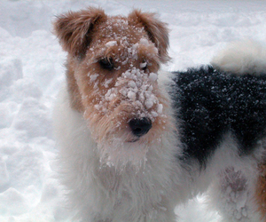 animal, dog, and wire fox terrier image
