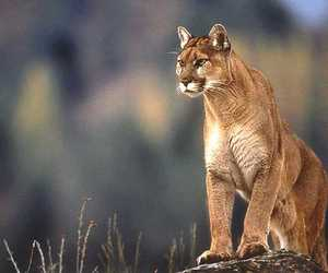 COUGAR, animal, and pretty image