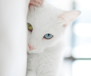cat, white, and eyes image