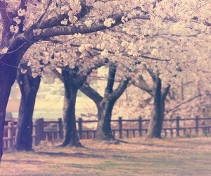 cherry blossoms, nature, and photography image