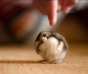 cute, hamster, and animal image
