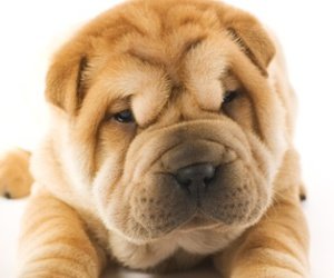 dog and shar pei image