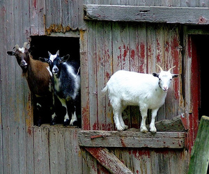 funny, goats, and silly image