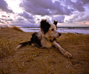 border collie, dog, and djur image