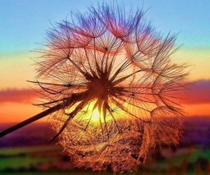 sunset, flowers, and dandelion image