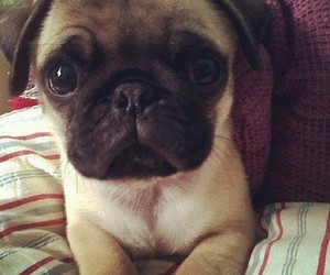 cute, dog, and pug image