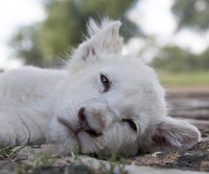 white lion cub, animal, and cute image