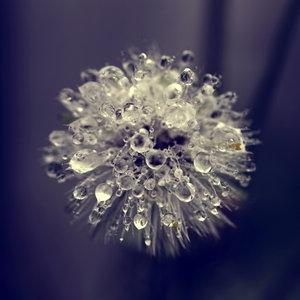 dandelion, drop, and macro image