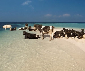 beach, cows, and sand image