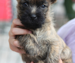 adorable, baby, and cairn terrier image