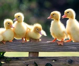 ducks, cute, and aww ducks cute image