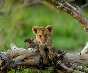lion, cub, and cute image