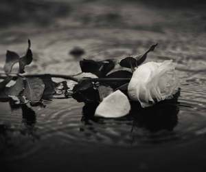 black and white, flower, and photography image