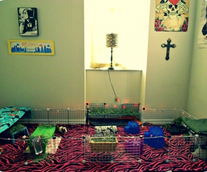cage, guinea pig, and home image