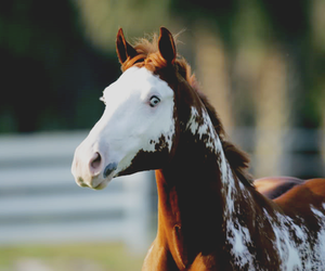 horse, horses, and paint image
