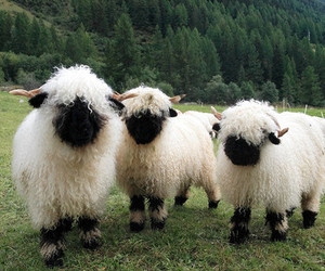 sheep, animal, and fluffy image