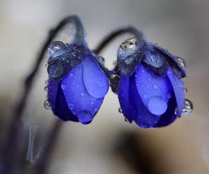 flowers, blue, and drop image