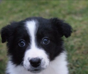 adorable, baby, and border collie image