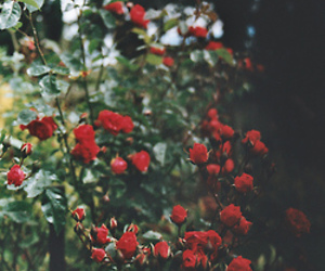 photography, red, and rose image