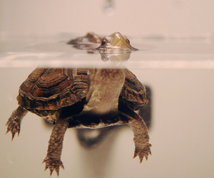 turtle, cute, and dangerous to box turtles image